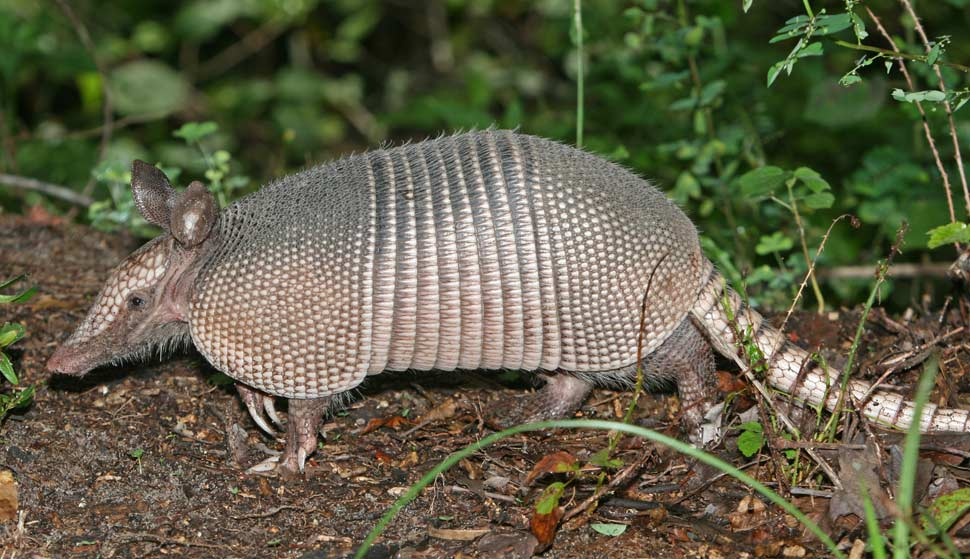 A Texas man has been injured after bullet ricochets off of armadillo